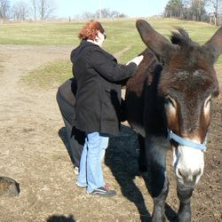 Tabby the mammoth donkey loving his relaxing Reiki session