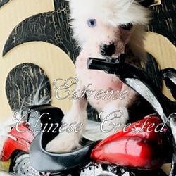 Chinese Crested puppies for sale