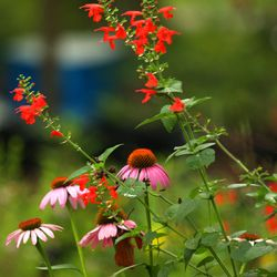 Tropical Sage and Purple Coneflower