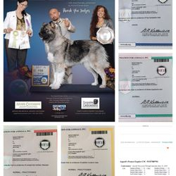 4x AKCFSS Best In Open Show Asgard's Pesnya Esquire CM, CGC, CGCA, FDC 1st AKC Certificate of Merit