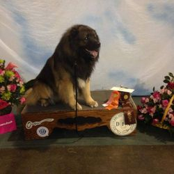 GRYM Esquire CGC, was the first Caucasian Shepherd Dog to participate in an AKC Open Show winning an FSS Group2