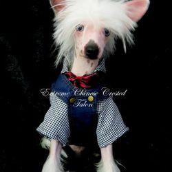 Tiny small chinese crested