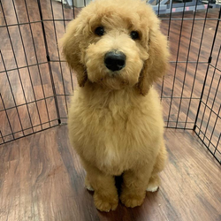 Oakley.  It's a Golden Doodle day at FPAAC