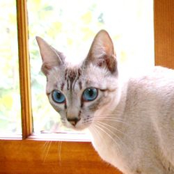 Our foundation Seal Lynx Point Siamese, sweet ANIME has a traditional(Applehead) body type. She can produce kittens of all color points. She is now retired and has passed the crown to her daughters PORTIA and MINDY
