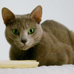 Rosalie, our Lavender Oriental Shorthair. TCA registered.