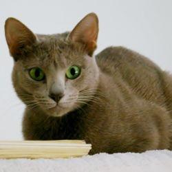 Rosalie, our Lavender Oriental Shorthair. TCA registered.