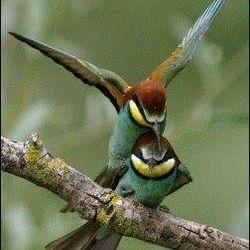 European Bee-eaters apiaster Merops Panos Oikonomou