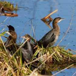 The sole urban colony of Pygmy Cormorants in Greece (and most probably the world!) is found at Kastoria