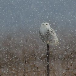 Snowy Owl 2014 Paul O'Toole