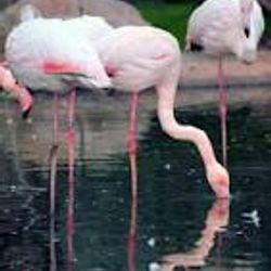 Kalloni Gulf, Lesvos island, flamingos