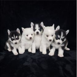 Healthy pomskies for sale