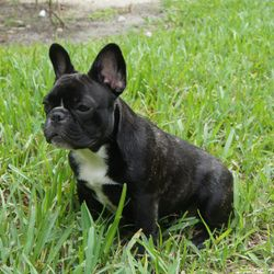 Bandog Bayou's Party Of One  Litter Due April 2014 Bred by Ingrid Gleysteen, Idylls French Bulldogs