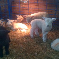 HELLO...WE ARE SOME OF THE 2014 LAMB CROP