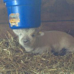 Iam hiding. Don't tell my fellow lamb friends where.