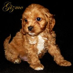Cavapoo poo puppies for sale