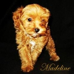 Cavapoo f1b for sale