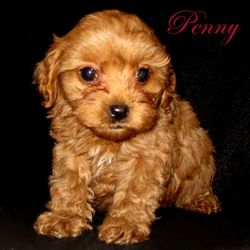 Toy sized Cavapoo