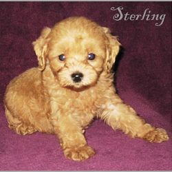 Tiny Cavapoo puppy for sale