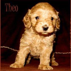 CavaMaltipoo puppy for sale