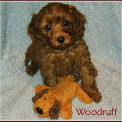 Ruby Cavapoo for sale