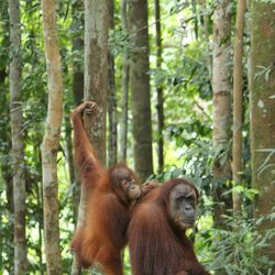 Trekking in the jungle - Orangutans in their natural habitat.