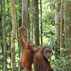 Trekking in the jungle - Orangutans in their natural habitat.