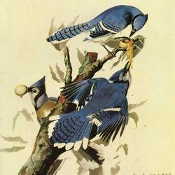 Audubon - Blue Jay
