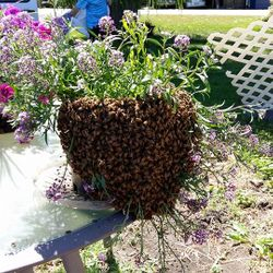 swarm catching, bees, honey bees