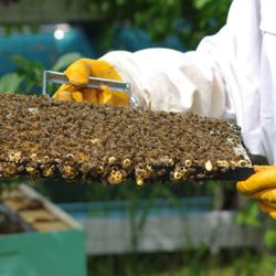 queen cells on frames of honey bees