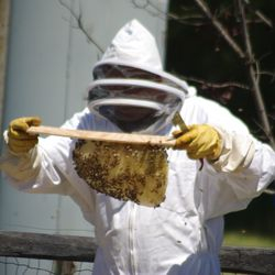 checking frames of bees in hive