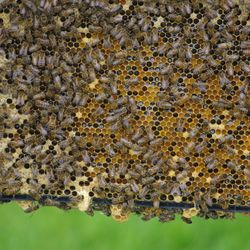 frame of honey bees, queen cell, bee hives