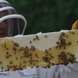 checking bee frames apiary