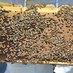 frame of honey bees from hive