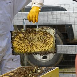 honey bees, bee hives