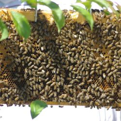 frames of honey bees, top view
