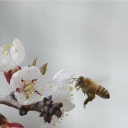 honey bee on apple bloom, bees