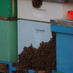 honey bees bearding on bee hive boxes