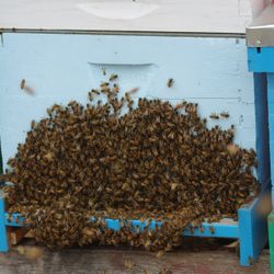 honey bees bearding on hive boxes