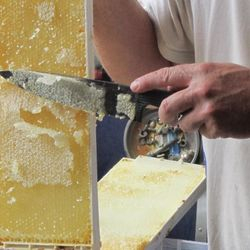 extracting honey from bee frames