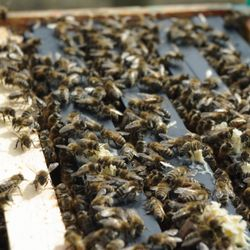full frames of bees in hive
