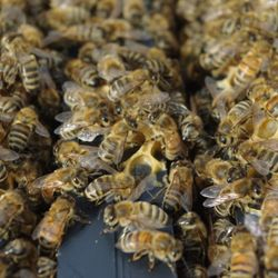 bees in bee hive boc