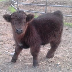 miniature calf Chubbs,mini cows for sale