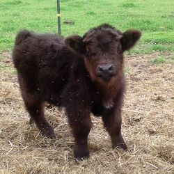 Baby miniature bull calf,mini cows for sale