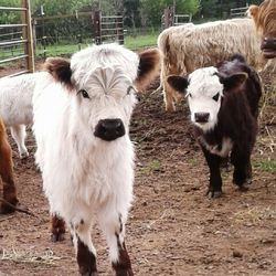 baby miniature cows for sale