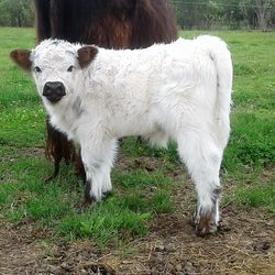 Moochithecow miniature bull,mini cows for sale