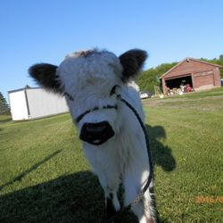 Moochithecow in halter,mini cows for sale