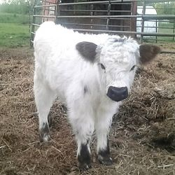 cute ,hairy,mini bull claf,mini cows for salemoochithecow