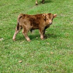 handsome mini cow/bull calf not for sale