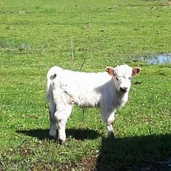 joules is a mini cows for sale