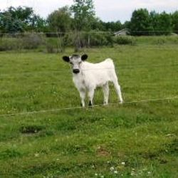 miniature cows for sale on pasture